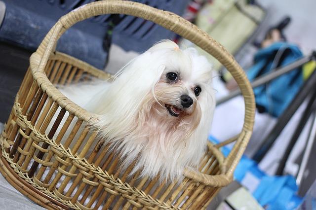 malý pes v košíku