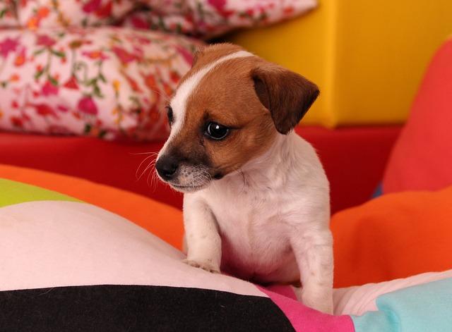 štěně jack russell