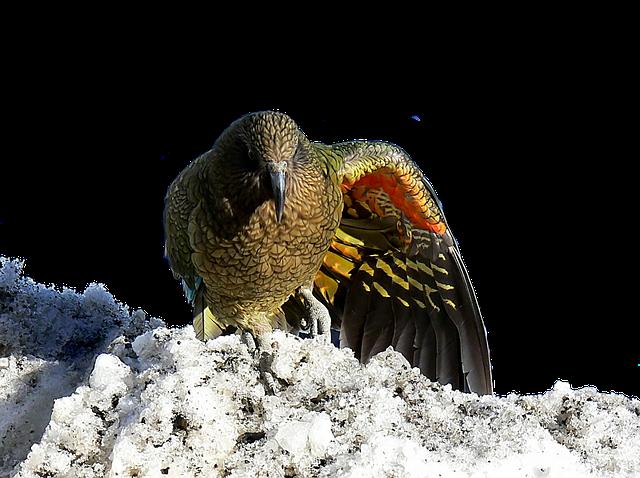 Masožravý papoušek