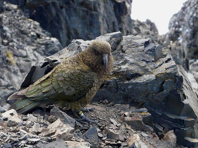 novozélandský papoušek